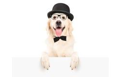 Собака при шлем стоя за белой панелью Стоковые Фотографии RF