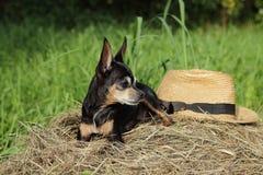 Собака при шляпа лежа на стоге сена Стоковая Фотография RF