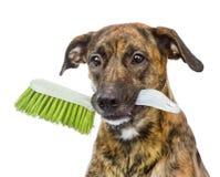 Собака при щетка чистки изолированная на белой предпосылке Стоковые Изображения