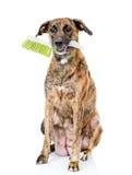 Собака при щетка чистки изолированная на белой предпосылке Стоковая Фотография RF