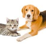 Собака прямых котенка шотландская и бигля Стоковая Фотография