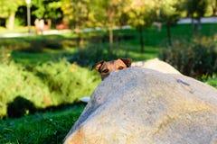 Собака пряча за камнем Стоковые Изображения RF