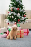 Собака пуделя с рождественской елкой стоковое фото