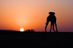 собака пустыни Стоковая Фотография RF
