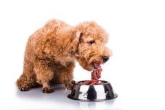 Собака пуделя наслаждаясь ее питательной и очень вкусной едой сырого мяса стоковые изображения