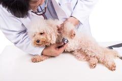 Собака пуделя доктора ветеринара рассматривая с стетоскопом на белом backgr Стоковые Фотографии RF
