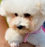 Собака пуделя с людьми Стоковые Фото