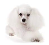 Собака пуделя Стоковая Фотография