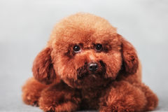 Собака пуделя Стоковое Изображение