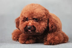 Собака пуделя Стоковые Фотографии RF