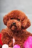 Собака пуделя Стоковое Фото