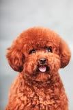 Собака пуделя Стоковые Фото