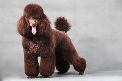 Собака пуделя Стоковая Фотография RF