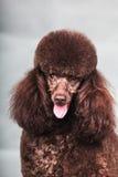 Собака пуделя Стоковые Изображения