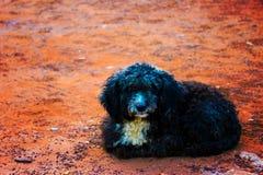 Собака пуделя Стоковые Изображения RF