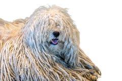Собака пуделя Rasta белая на белой предпосылке Стоковые Фотографии RF