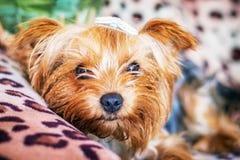 Собака разводит йоркширский терьера в комнате на софе пока на остатках стоковое фото rf