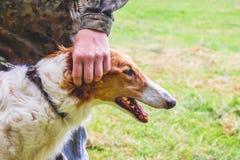 Собака разводит русскую борзую около своего владельца, портрета конца-вверх собаки в profile_ стоковые фотографии rf