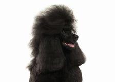 Собака Размер черного пуделя большой изолированный на белой предпосылке Стоковые Фотографии RF
