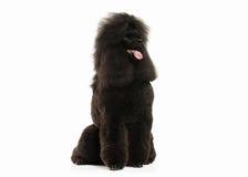 Собака Размер черного пуделя большой изолированный на белой предпосылке Стоковое фото RF