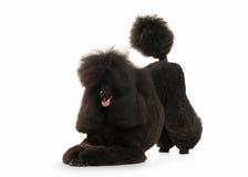 Собака Размер черного пуделя большой изолированный на белой предпосылке Стоковая Фотография