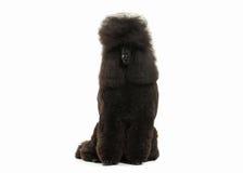 Собака Размер черного пуделя большой изолированный на белой предпосылке Стоковые Изображения