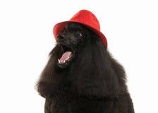 Собака Размер черного пуделя большой изолированный на белой предпосылке Стоковое Фото