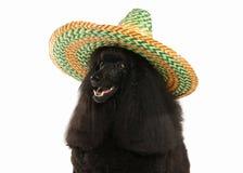 Собака Размер черного пуделя большой изолированный на белой предпосылке Стоковые Фото