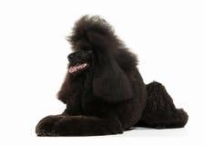 Собака Размер черного пуделя большой изолированный на белой предпосылке Стоковое Изображение