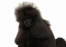 Собака Размер черного пуделя большой изолированный на белой предпосылке Стоковая Фотография RF