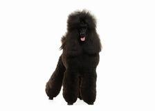 Собака Размер черного пуделя большой изолированный на белой предпосылке Стоковые Изображения RF