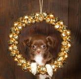 собака рождества чихуахуа Стоковое фото RF