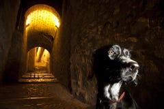 Собака самостоятельно в исторической улице Стоковое Изображение RF