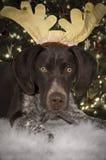 Собака северного оленя Стоковые Фото