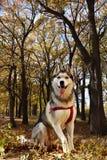 собака - сибирская лайка сидит на предпосылке леса осени стоковое фото rf