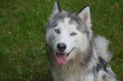 Собака сибирской лайки в траве Стоковые Изображения RF