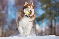 Собака сибирской лайки играя outdoors Стоковые Изображения RF