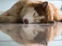 Собака сибирской лайки имеет отражение пола Стоковые Фотографии RF