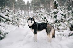 Собака сибирской лайки идя в снежный сосновый лес зимы стоковая фотография rf