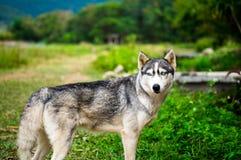 Собака сибирской лайки на траве с запачканной предпосылкой Стоковые Фотографии RF