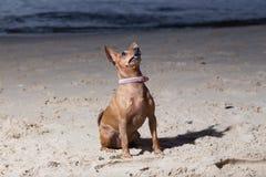 Собака сидит на Балтийском море Вода и волны Природа и животное Стоковые Фотографии RF