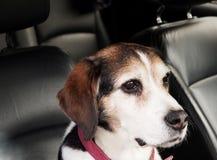 Собака сидя в автомобиле стоковое изображение