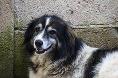 Собака сидя на краю стены стоковая фотография rf