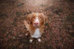 Собака сидя на упаденных листьях Звонить утки Новой Шотландии породы вымачивает Стоковое Фото