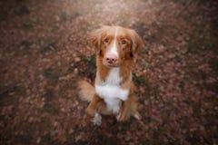 Собака сидя на упаденных листьях Звонить утки Новой Шотландии породы вымачивает Стоковое Изображение