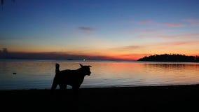Собака силуэта отечественная на песчаном пляже на изумляя заходе солнца движение медленное 1920x1080 акции видеоматериалы