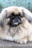 собака симпатичная Стоковая Фотография RF