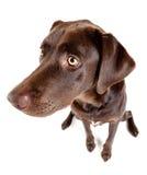 Собака сидя и смотря на стороне. стоковые фотографии rf