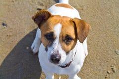 Собака сидя на пляже Стоковое Изображение