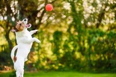 Собака скача высоко для того чтобы уловить шарик игрушки красный стоковое изображение
